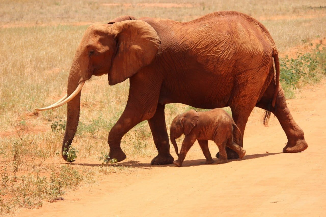 African elephant with baby elephant.